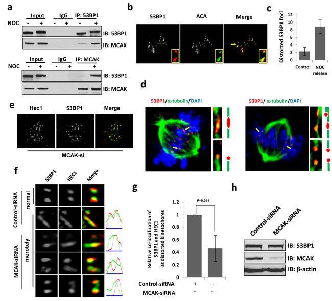 53BP1 is required for resolving merotelic attachments during mitosis.