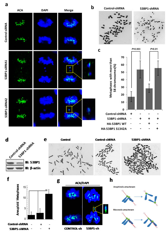 53BP-1 depletion causes chromosome segregation errors and aneuploidy in U2OS (a-c) and BJ-hTERT (d-g) cells.