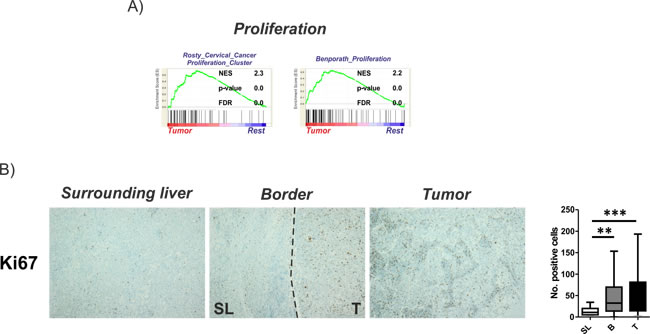 Activation of proliferation in tumor tissues.