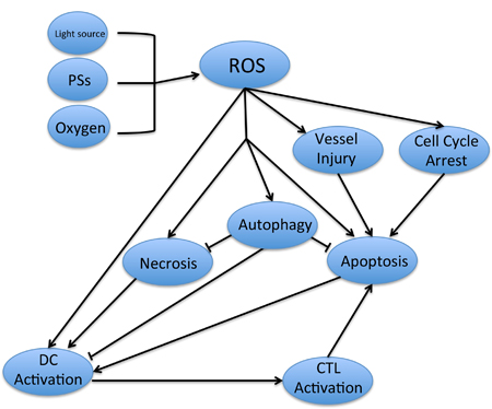 The relevant pathways involved in PDT-induced antitumor effect.