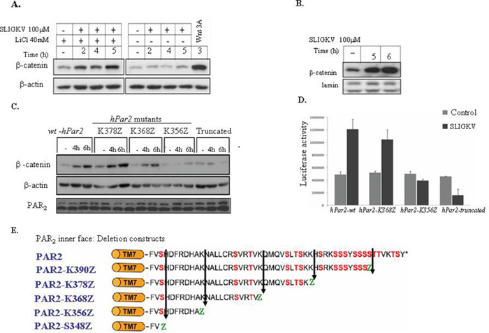 Activation of PAR2 induces β-catenin stabilization and Lef/Tcf transcriptional activity.