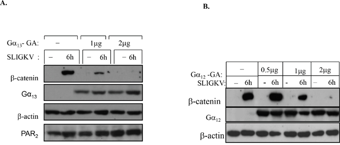 Both Gα13 and Gα12 are involved in PAR2-induced β-catenin stabilization.