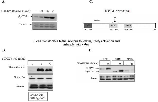 DVL1 translocates to the cell nucleus following PAR2 activation.