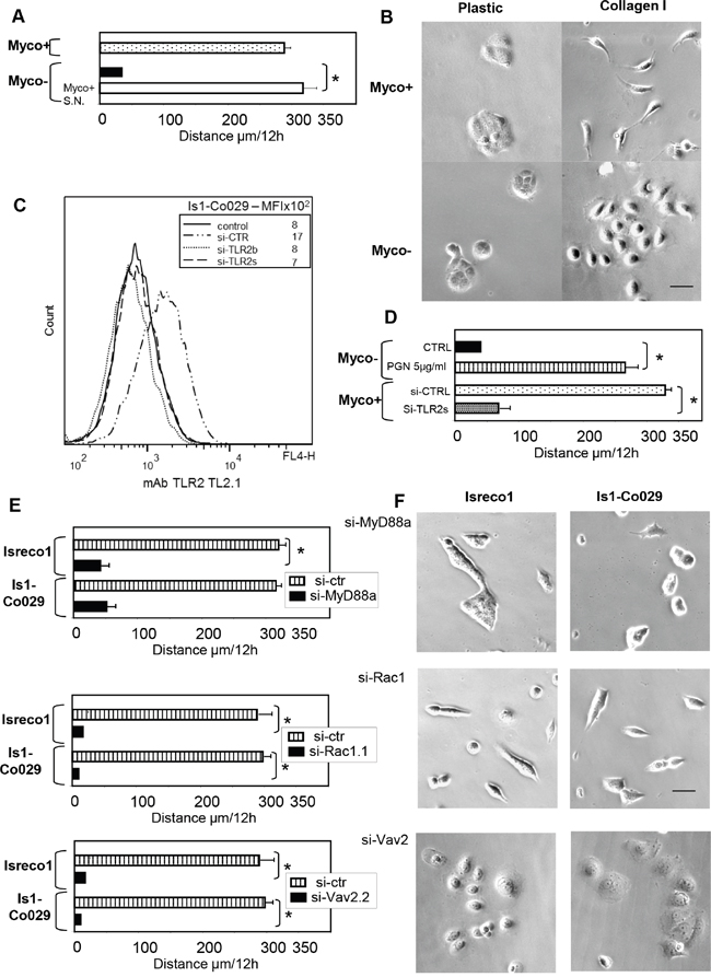 Mycoplasma infection triggers cell motility of Isreco1 cells on collagen I, involvement of TLR2 signalling.