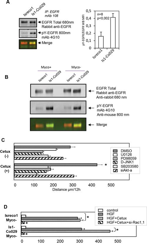 EGFR phosphorylation and signalling pathways.