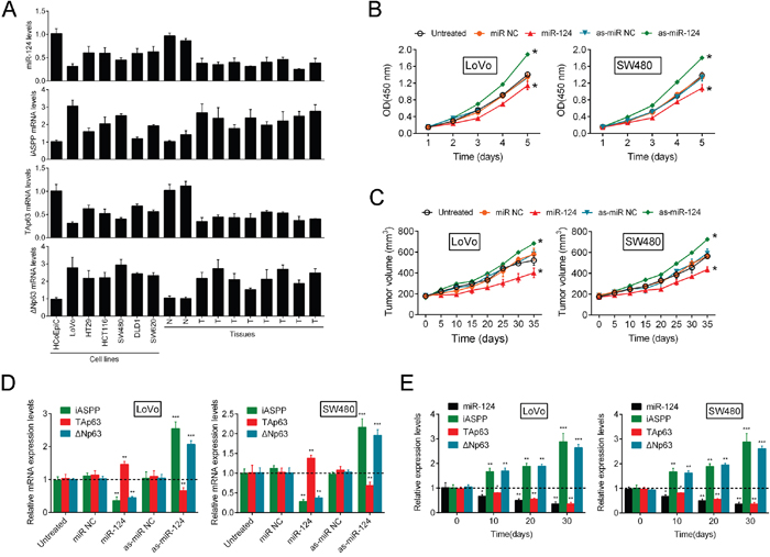 The miR-124/iASPP axis modulates CRC cell growth via the regulation of p63.