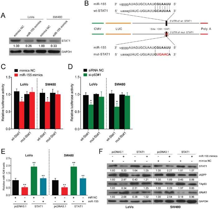 miR-155 targets STAT1 and consequently modulates the miR-124/iASPP/p63 pathway.
