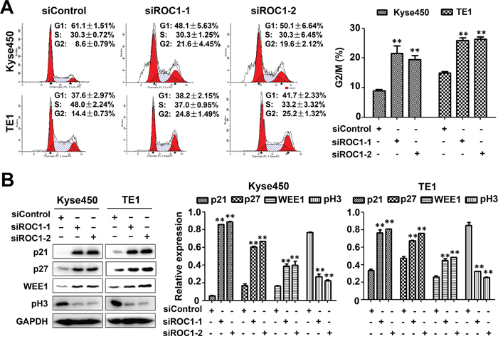 Knockdown of ROC1 induced G2/M cell cycle arrest of human esophageal cancer cells.