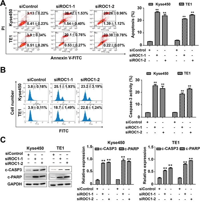 Knockdown of ROC1 triggered apoptosis of human esophageal cancer cells.