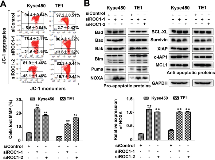 Knockdown of ROC1 induced mitochondrial apoptosis.