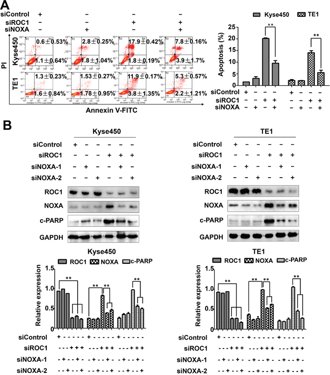 NOXA play an important role in ROC1-silencing induced apoptosis.