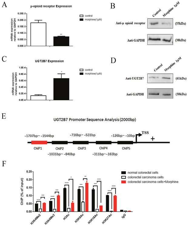 Positive methylated and acetylated signals in histone 3 regulate UGT2B7 expression in morphine tolerance-like HCT-116 cells.