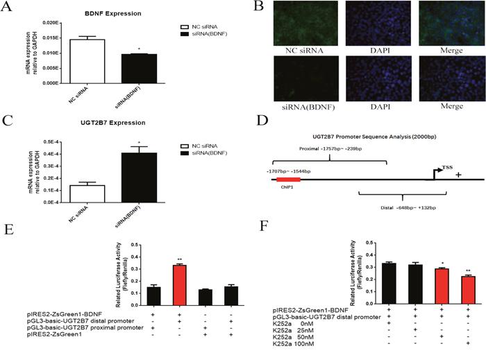 BDNF regulates UGT2B7 through promoter transactivation.