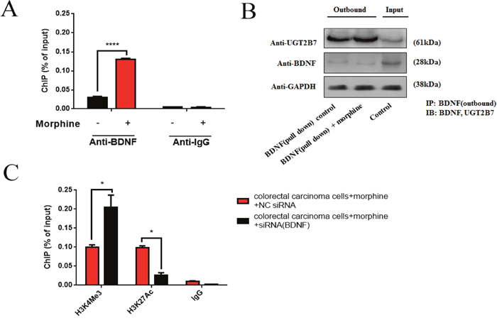 BDNF and UGT2B7 interaction induces the alterations of positive signals in histone 3 of UGT2B7 promoter.