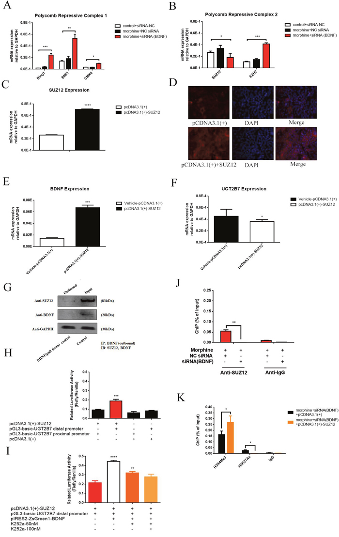 BDNF and UGT2B7 regulation is affected by core factor of PRC2, SUZ12 under morphine tolerance in CRC cells.