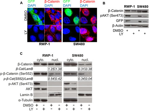 PI3K inhibition reduces β-Catenin mediated transcription without affecting β-Catenin subcellular localization.