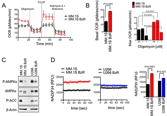 PI resistant cells show increased rates of mitochondrial respiration for energy production.