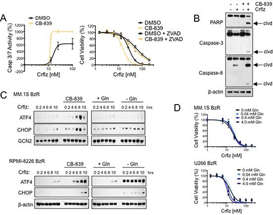 CB-839 synergistically enhances Crflz-induced apoptosis and ER stress.