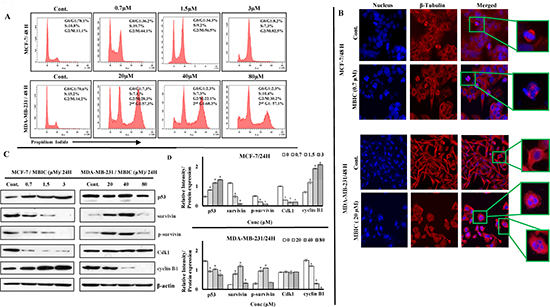 MBIC induces G2-M cell cycle arrest in MCF-7 and mitotic slippage in MDA-MB-231 cell-lines.