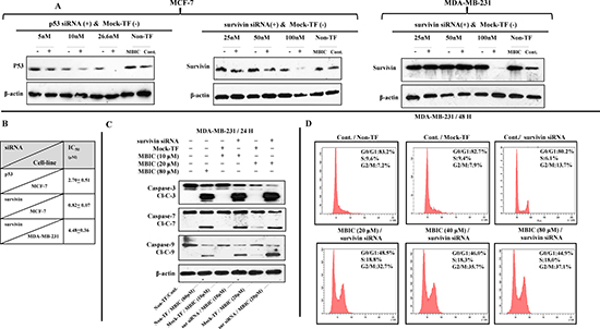 Survivin gene silencing increases the sensitivity of MDA-MB-231 to MBIC.
