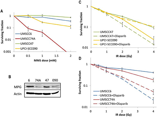 Analysis of MMS sensitivity and PARP inhibition on the radiosensitivity of HPV-negative and HPV-positive OPSCC cells.