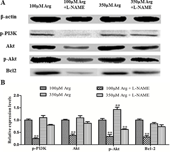 Effects of inhibition of Arg-NO pathway on PI3K-Akt-Bcl2 pathway.