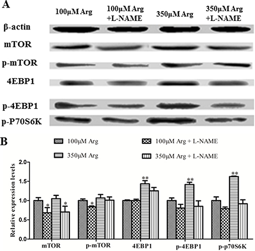 Effects of inhibition of Arg-NO pathway on mTOR pathway.