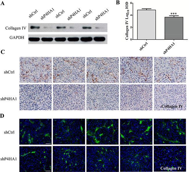 Knockdown of P4HA1 decreases the levels of collagen IV and disrupts the vascular basement membrane.