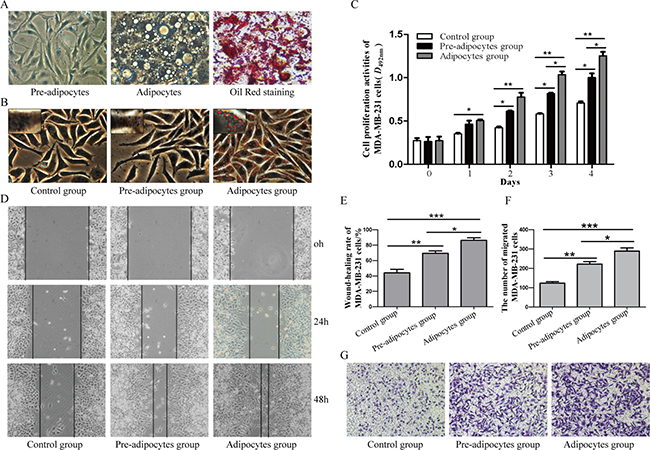 Different effects of pre-adipocytes and adipocytes on the biological behaviors of MDA-MB-231.