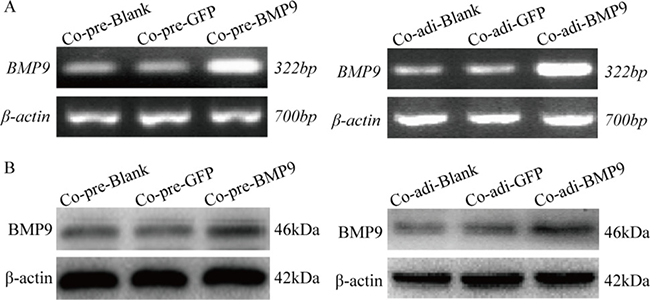 BMP9 expression in MDA-MB-231cells ofthe co-culture system was detected by RT-PCR and Western blotting.