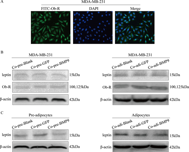 Effect of BMP9 on the expression of leptin and ObR in the co-culture system.