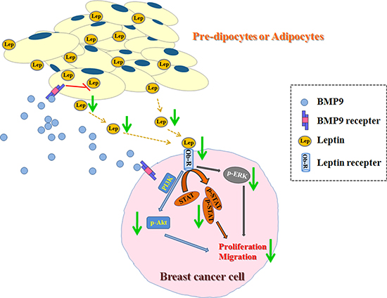 Effects of BMP9 on the biological behaviors of breast cancer cells in the co-culture system.