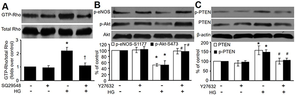 Rho/ROCK participates in HG-induced inhibition of Akt-eNOS signaling.