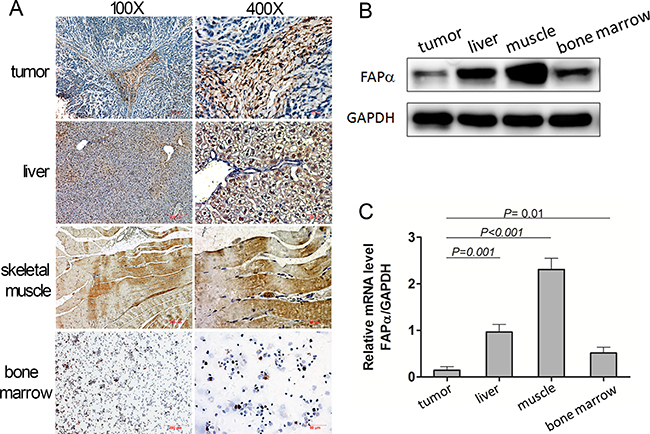 Expression of FAPα detected in the mouse tumor, normal tissues and mouse plasma.