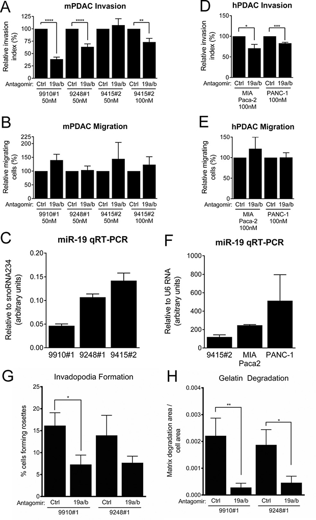 PDAC cell line invasion and invadopodia formation is suppressed by miR-19 antagomirs.