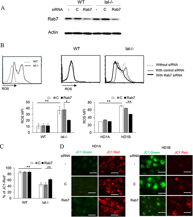 Rab7 GTPase controls ROS production and the mitochondrial membrane potential.