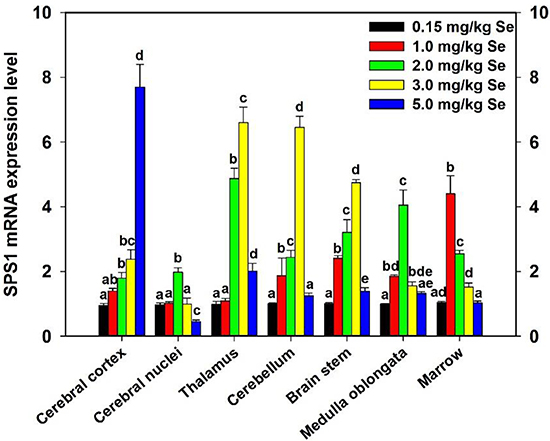 Effect of supernutritional Se on SPS1 expression of chicken CNS.