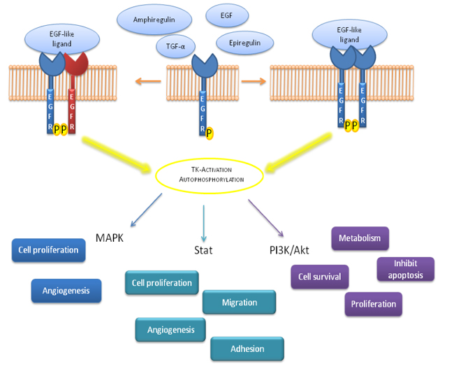 Schematic representation of signal transduction pathways involved after EGFR activation.