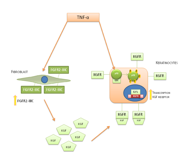 Mechanism of action of TNF-α on fibroblast cells and keratinocytes cells.