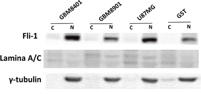Western blots showing the Fli-1 protein of the isolated nucleus/cytoplasm sample, nuclear (N) and cytoplasmic (C).