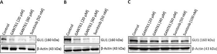 Decreased GLI1 protein expression upon sunitinib treatment.