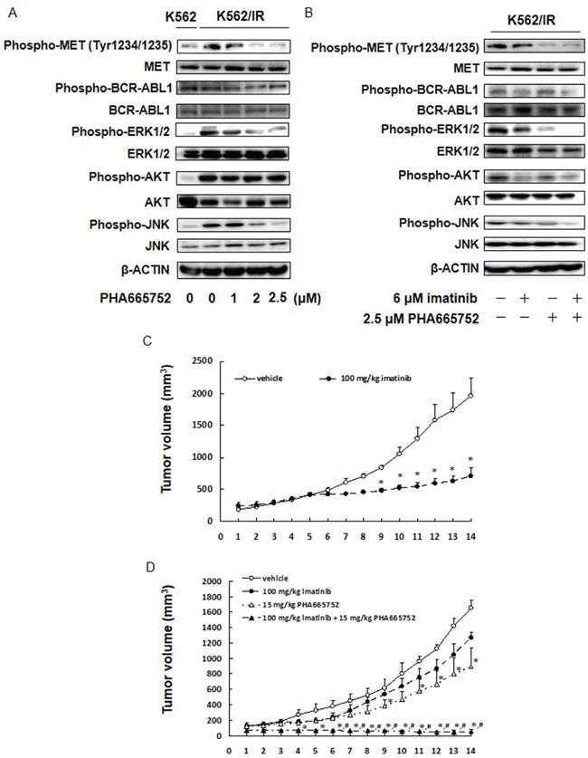 MET inhibitor inhibits the ERK and JNK activation, and combined treatment of MET inhibitor and imatinib significantly suppressed tumor growth of K562/IR cells in vivo.