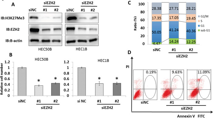 EZH2 knockdown induces significant growth suppression and apoptosis in endometrial cancer cell lines.