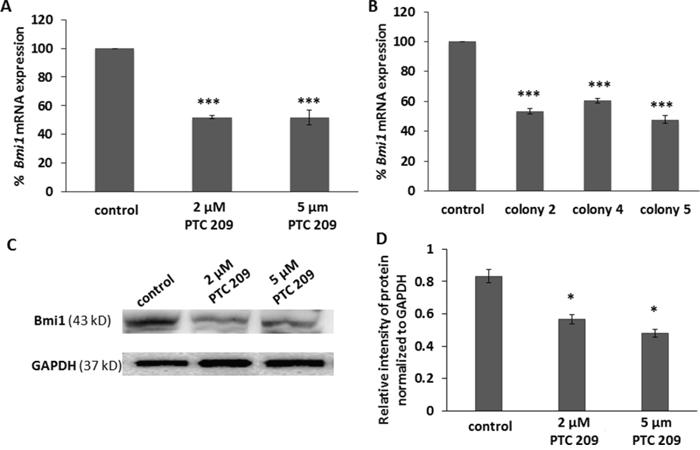 PTC 209 treatment and Bmi1 shRNA transfection decreases Bmi1 mRNA expression.