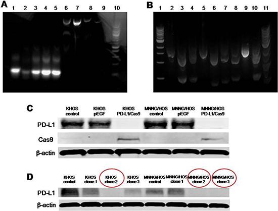 Verification of PD-L1 CRISPR/Cas9 in vitro.