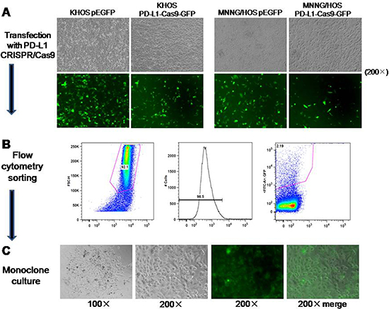 Generation of osteosarcoma cell lines with constitutive knockout of PD-L1 expression.
