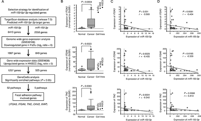 Identification of miR-150-5p and miR-150-3p target genes and expression levels of three genes in HNSCC clinical specimens.