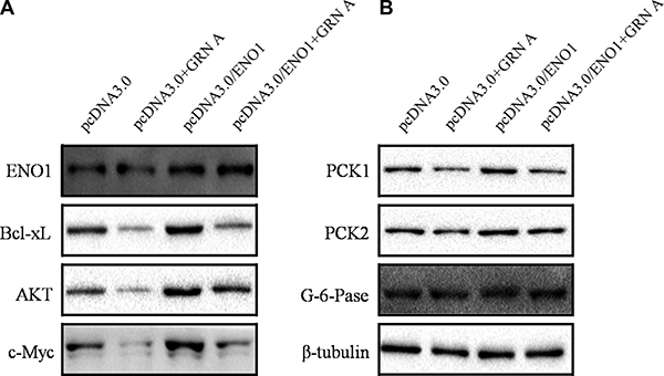 Overexpression of ENO1 enhanced the expression of apoptosis and glucose metabolic-related proteins.