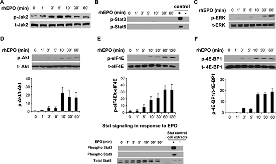 EPO signaling in B16 cells.