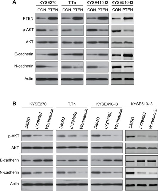 Effects of PI3K/AKT blockade on E-cadherin and N-cadherin expressions in esophageal cancer cells.